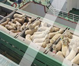 Ukrayna canlı hayvan taşıma